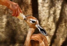 Dziecko Gerenuk zdjęcia royalty free