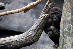 Dziecko goryl obrazy royalty free