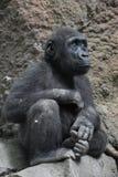 Dziecko goryl Patrzeje Oddolny Podczas gdy Siedzący obrazy stock