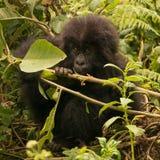 Dziecko goryl patrzeje up od żuć gałąź obraz stock