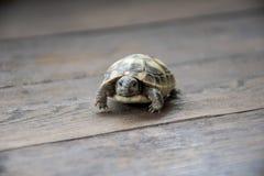 Dziecko gruntowy żółw patrzeje wewnątrz kamera na drewnianym tle, zakończenie w górę fotografii t?a odosobniony ma?y tortoise bie zdjęcie royalty free
