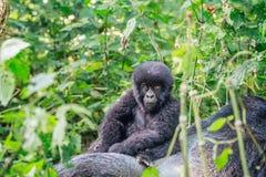 Dziecko Halnego goryla obsiadanie na Silverback zdjęcie royalty free