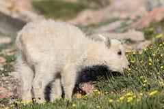 Dziecko Halnej kózki dzieciaka łasowania Wildflowers na góra wierzchołku Fotografia Stock