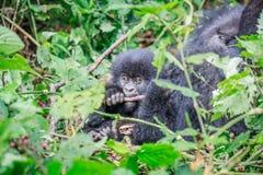 Dziecko Halny goryl żuć na kiju fotografia stock