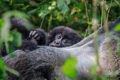 Dziecko Halny goryl chuje za Silverback zdjęcia royalty free