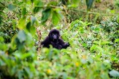 Dziecko halny goryl w wierzchołku krzak Zdjęcie Royalty Free