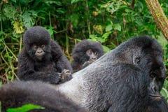 Dziecko Halny goryl z tyłu Silverback fotografia stock