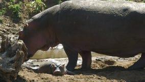 Dziecko hipopotam kłaść na plażowy masai Mara, Kenya zdjęcie wideo
