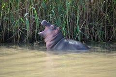 Dziecko hipopotam przy Isimangaliso bagna parkiem, Południowa Afryka Obraz Royalty Free