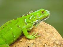 Dziecko iguana próbuje dostosowywać wewnątrz! fotografia stock