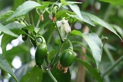 dziecko jalapeno chili pepper Zdjęcie Royalty Free