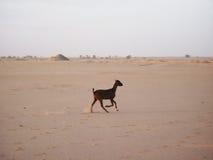 Dziecko kózka w pustyni Obraz Royalty Free
