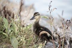 Dziecko kaczki kaczątko Zdjęcia Royalty Free