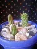 Dziecko kaktus fotografia royalty free