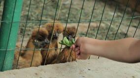 Dziecko karma chiken w klatce zbiory wideo