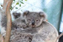 Dziecko koala Przyrody Sydney zoo australia odpowiada winogrono myśliwego nowego południowego doliny Wales Australia zdjęcie royalty free