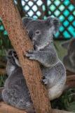 Dziecko koali obsiadanie w drzewie Obrazy Royalty Free