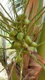 Dziecko koks na kokosowym drzewie Obrazy Stock