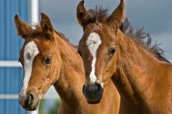 dziecko konie dwa Obraz Royalty Free