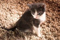 Dziecko kota szarobiały obsiadanie na dywanie w domu Fotografia Royalty Free