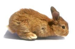 Dziecko królik. Obrazy Stock