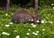 Dziecko królik w Devon ogródzie Fotografia Royalty Free