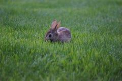 Dziecko królika królik w zielonej trawie Fotografia Stock
