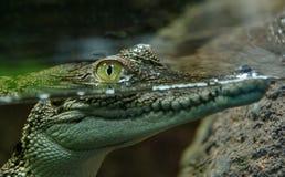 Dziecko krokodyl nad i pod wodna linia obraz stock