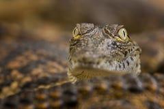 Dziecko krokodyla gad Fotografia Royalty Free
