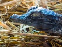 Dziecko krokodyla ` s głowa w zakończeniu up Zdjęcia Royalty Free