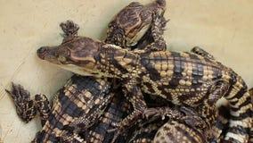 Dziecko krokodyle - środka strzał, wtedy osiedla na trzy croc głowach zbiory wideo