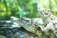 Dziecko krokodyle w zbiorniku Fotografia Stock