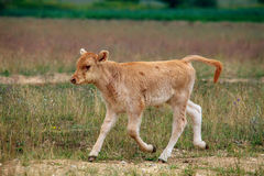 Dziecko krowa Obraz Stock
