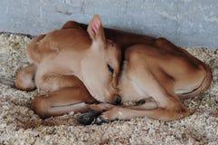 Dziecko krowa Fotografia Stock