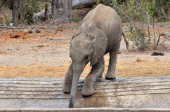 Dziecko krzaka Afrykański słoń (Loxodonta africana) Zdjęcie Stock
