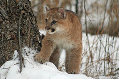Dziecko kuguar w śniegu Fotografia Royalty Free