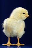 dziecko kurczak fotografia stock