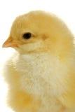 dziecko kurczak zdjęcia royalty free