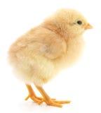 Dziecko kurczak Obrazy Royalty Free
