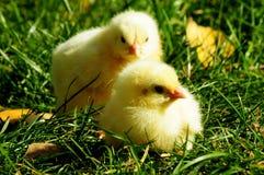Dziecko kurczak Zdjęcia Stock