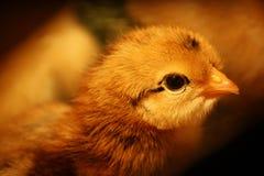 dziecko kurczak Obraz Royalty Free
