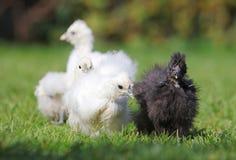 Dziecko kurczak w zielonej trawie Fotografia Royalty Free