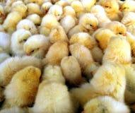 Dziecko kurczaki obraz stock