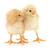 dziecko kurczaki Zdjęcia Stock