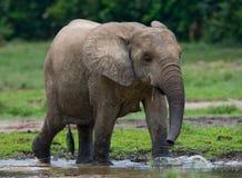 Dziecko lasu słoń Fotografia Royalty Free