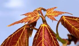 dziecko leafs klon Fotografia Stock