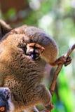 dziecko lemur Obraz Royalty Free