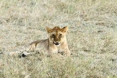 Dziecko lew robi śmiesznej twarzy Zdjęcie Royalty Free