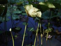 Dziecko lotosowy kwiat Fotografia Royalty Free