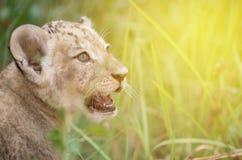 Dziecko lwa głowa strzelająca wśród zwartych traw Fotografia Stock